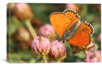 Lesser Fiery Copper (Lycaena thersamon), Canvas Print
