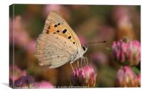 The Small Copper, Canvas Print