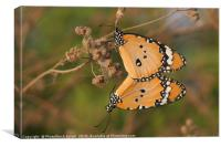 Plain Tiger (Danaus chrysippus), Canvas Print