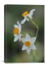 Narcissus tazetta, Chinese Sacred Lily, Canvas Print