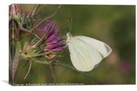 Cabbage White (Pieris brassicae), Canvas Print
