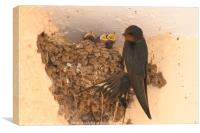 Young Barn Swallow, Canvas Print