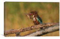 White-throated Kingfisher, Halcyon smyrnensis, Canvas Print