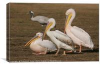three Pelicans , Canvas Print