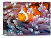 Clownfish in Reef