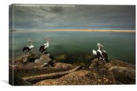 Australian pelicans sunbathing, Canvas Print