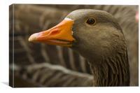 Greyleg goose watching, Canvas Print