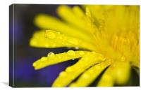 Yellow dandelion flower with waterdrops, Canvas Print