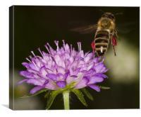 Honey-bee taking off, Canvas Print