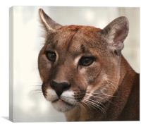 Cougar, Canvas Print