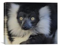 Black & White Ruffed Lemur, Canvas Print