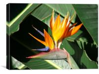 Bird of Paradise, Canvas Print