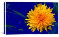 The flower of a dandelion, Canvas Print