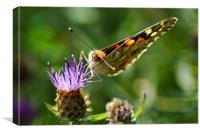 Painted Lady, 'Vanessa cardui', Canvas Print
