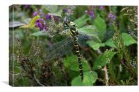 Golden-Ringed Dragonfly, 'Cordulegaster boltonii', Canvas Print