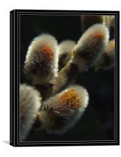 Salix caprea,great willow , Canvas Print