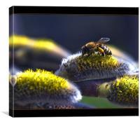 Salix caprea & bee, Canvas Print