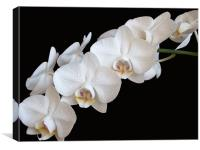 White Orchids, Canvas Print