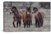 Fell Ponies, Canvas Print