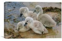Cygnet Swans