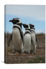 Magellanic Penguins, Canvas Print