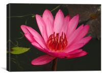 Water Lili, Canvas Print