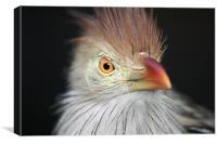 Cheeky Kookaburra, Canvas Print