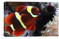 Maroon Clownfish, Canvas Print