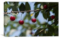 Cherries on branch, Canvas Print