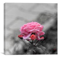 Sad pink rose with three buds, Canvas Print
