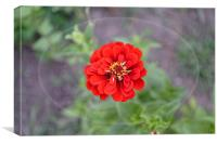 Red garden flower, Canvas Print