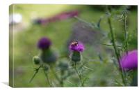 bee visiting roadside thistle, Canvas Print