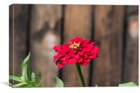 Red flower at the wooden fence, Canvas Print