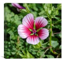 white to pink garden flower, Canvas Print
