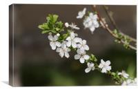 Blossom cherry in the sun, Canvas Print
