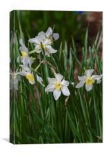 white daffodils, Canvas Print