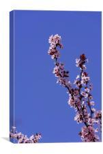 Blossom cherry branch on blue sky, Canvas Print