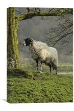 Lost sheep, Canvas Print