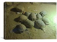 Bundle of Tortoise., Canvas Print