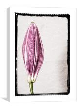 Budding Lily, Canvas Print