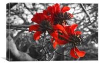 Coral Tree Flower, Canvas Print