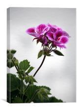 Pelargonium, Canvas Print