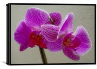 Phalaenopsis, Canvas Print