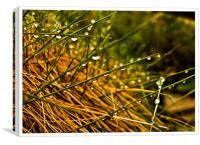 Grass tears , Canvas Print