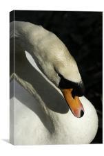 Shy Swan, Canvas Print