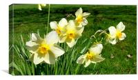 White Daffodils, Canvas Print