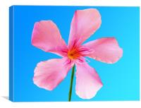 Pink Flower, Canvas Print