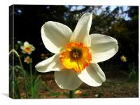White/Yellow/Orange Daffodil, Canvas Print