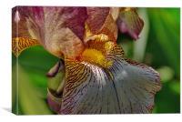 Bearded Iris 1, Canvas Print