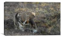 Grazing Stag, Canvas Print